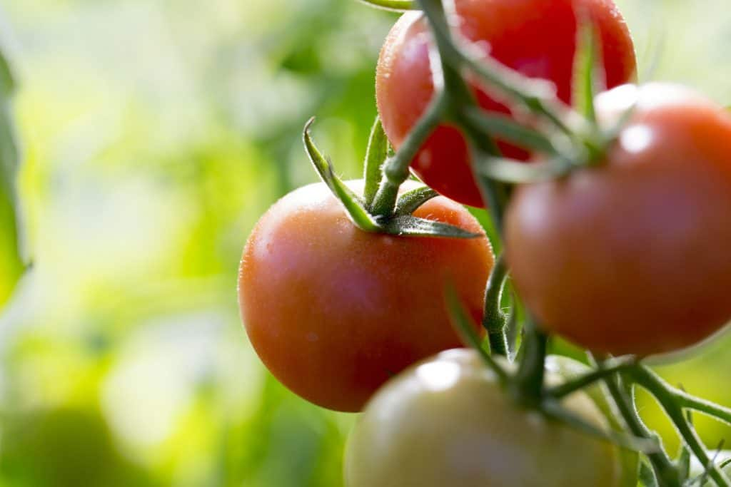 Tomatoes are a Main Ingredient in Many Dishes at our Restaurants in Reston and Dulles Town Center